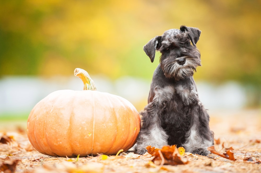 canned pumpkin for worms in dogs