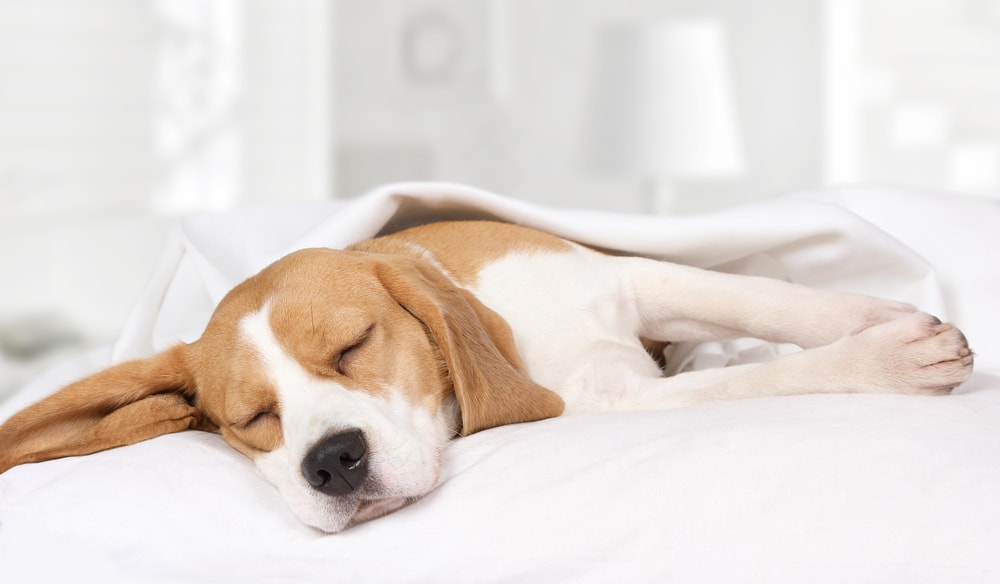 hound-dog-sleeping-in-white-bedroom-min