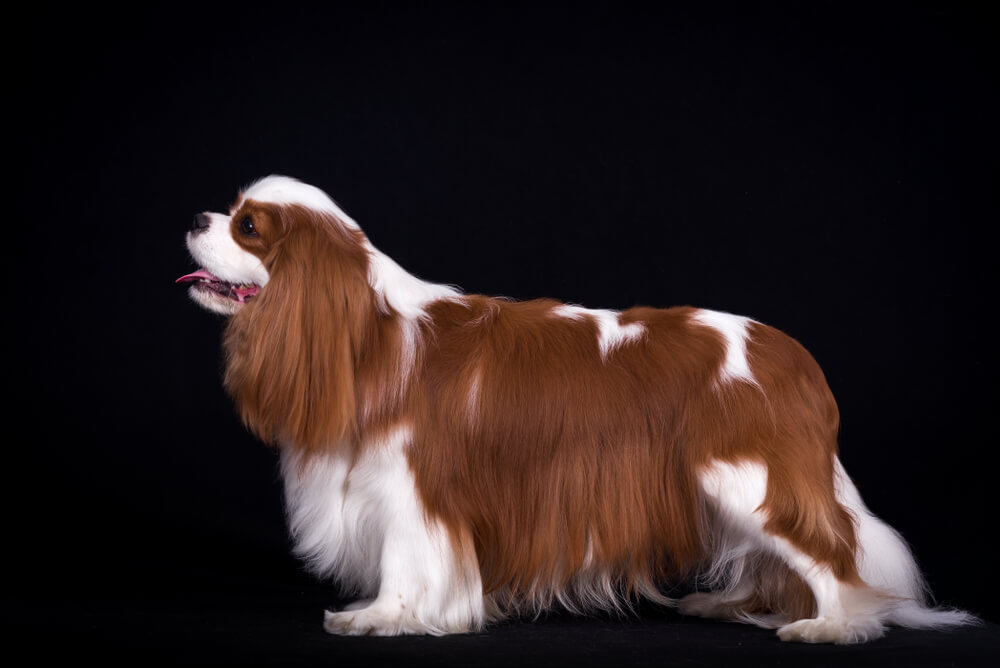 Cavalier-King-Charles-sticks-tongue-out