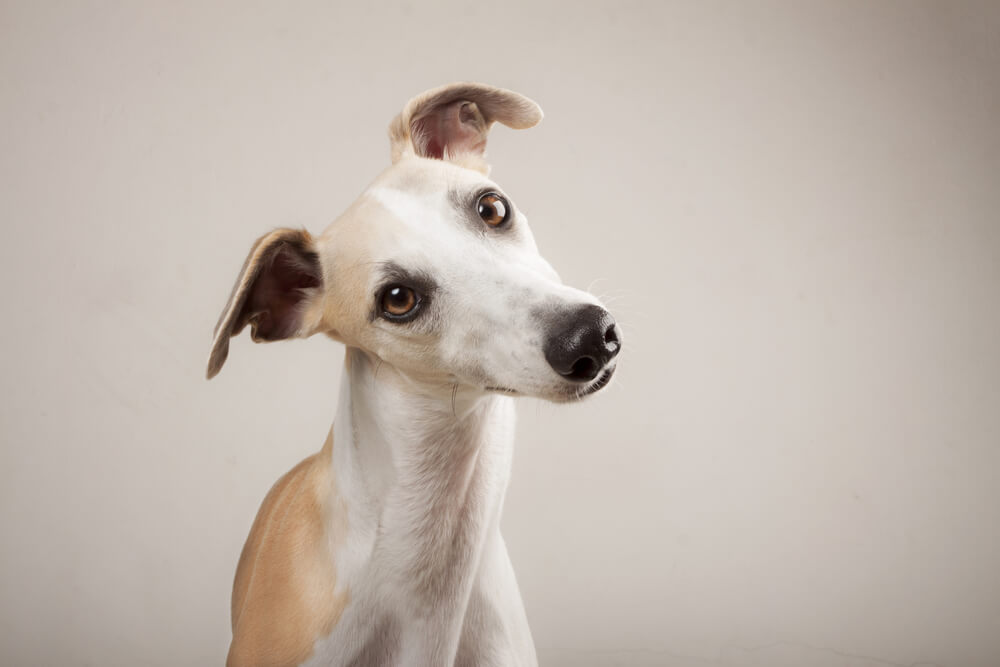 Whippet-tilts-head-on-grey-background