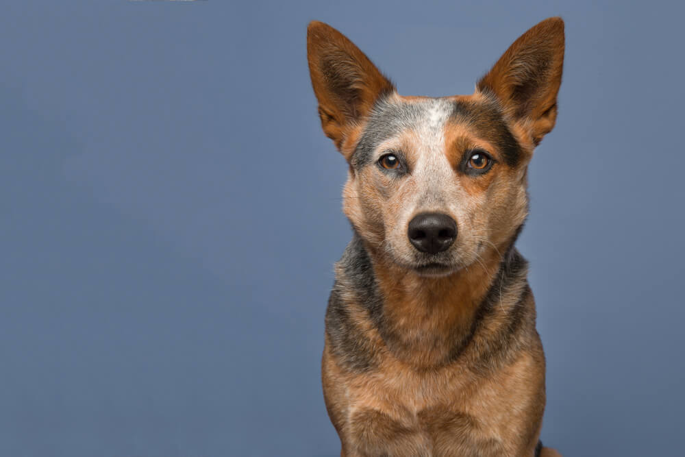 australian-cattle-dog-on-blue-background--1-