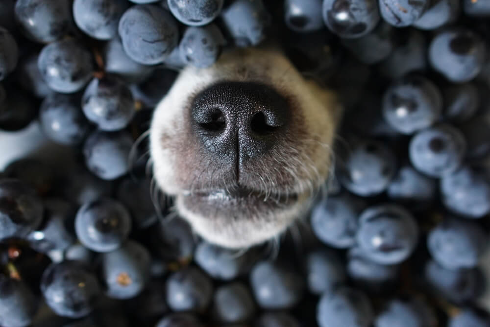 dog-nose-surrounded-by-fresh-blueberries