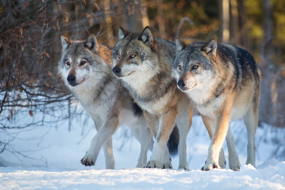pack-of-wolves-walking-through-wolves