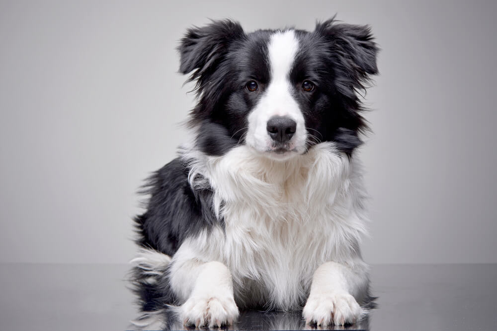 young-border-collie-poses-on-table