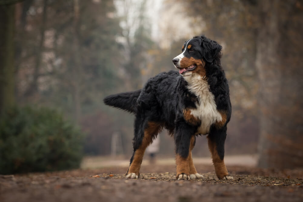 Bernese-Mountain-Dog-takes-a-hike-in-the-forest