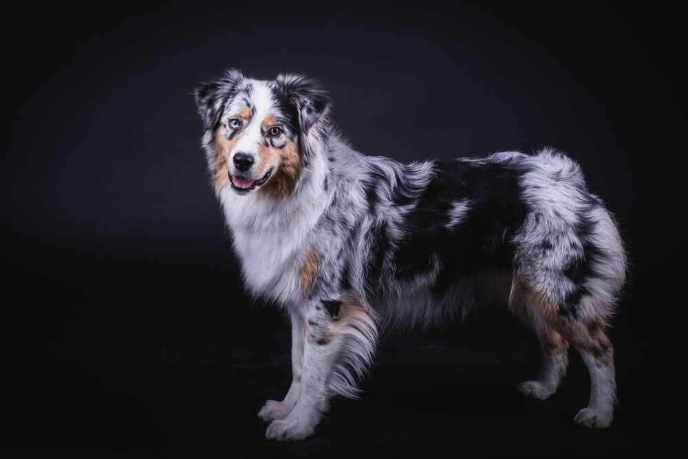 australian-shepherd-puppy-stands-and-smiles