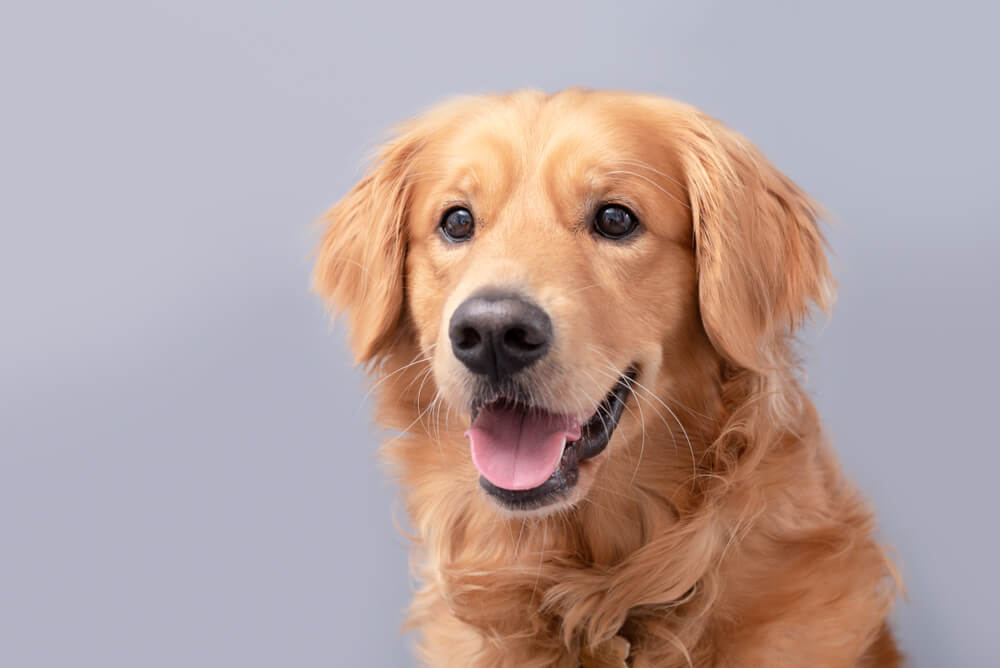 smiling-golden-retriever-poses