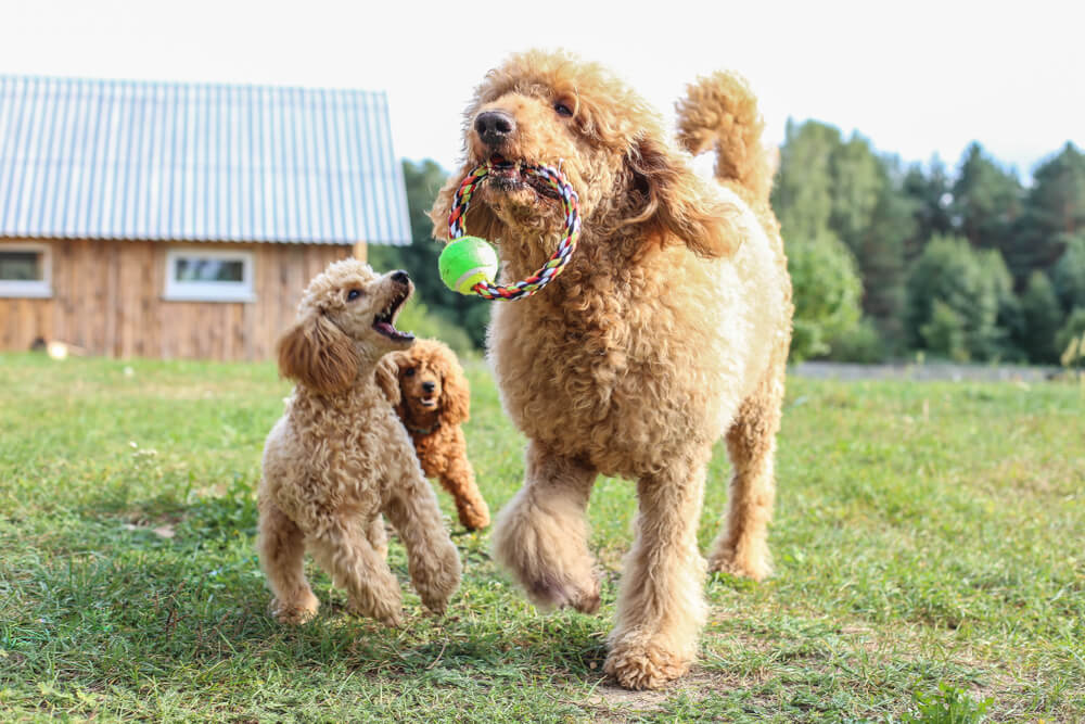 toy-poodle-and-standard-poodles-play-in-the-yard