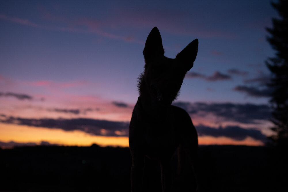 unknown-breed-dog-watches-the-sunset--1-