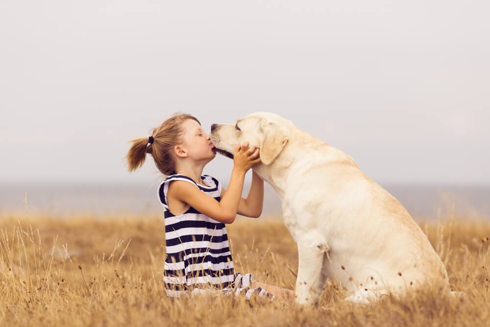 yellow-lab-licks-little-girl-s-face-in-a-field