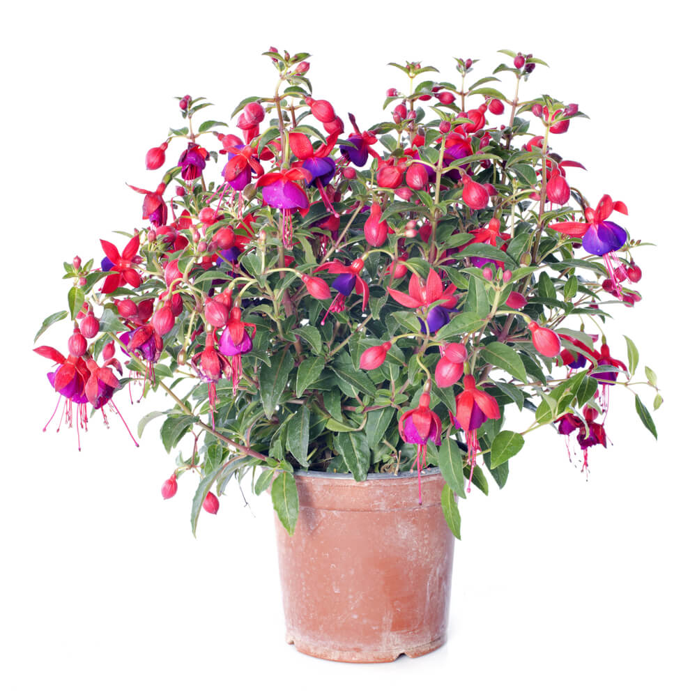 Flowering-fuchsia-plan-in-a-clay-pot