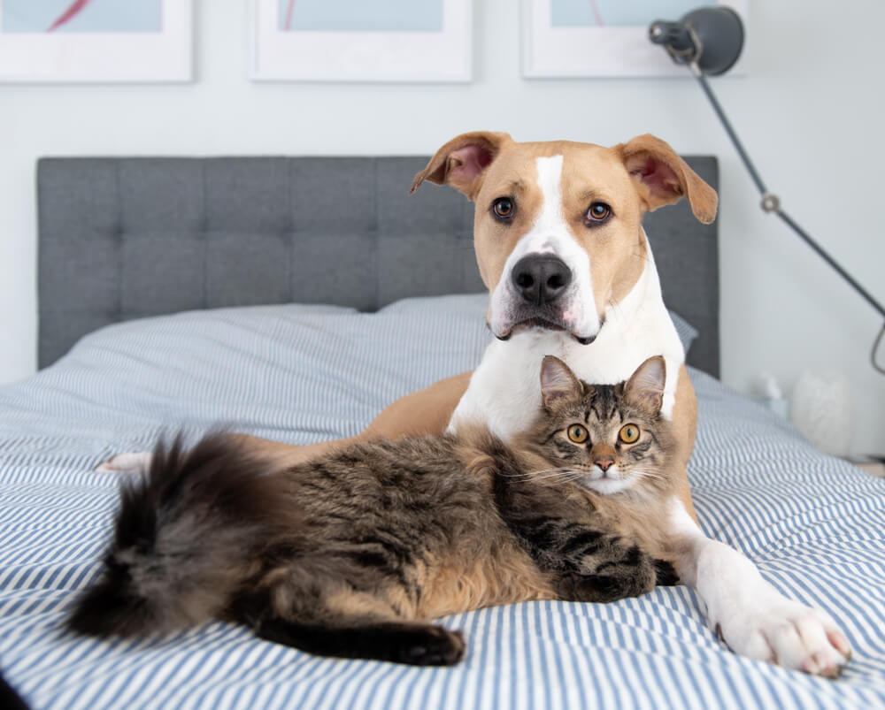 Pitbull-puppy-and-cat-snuggle-on-a-bed