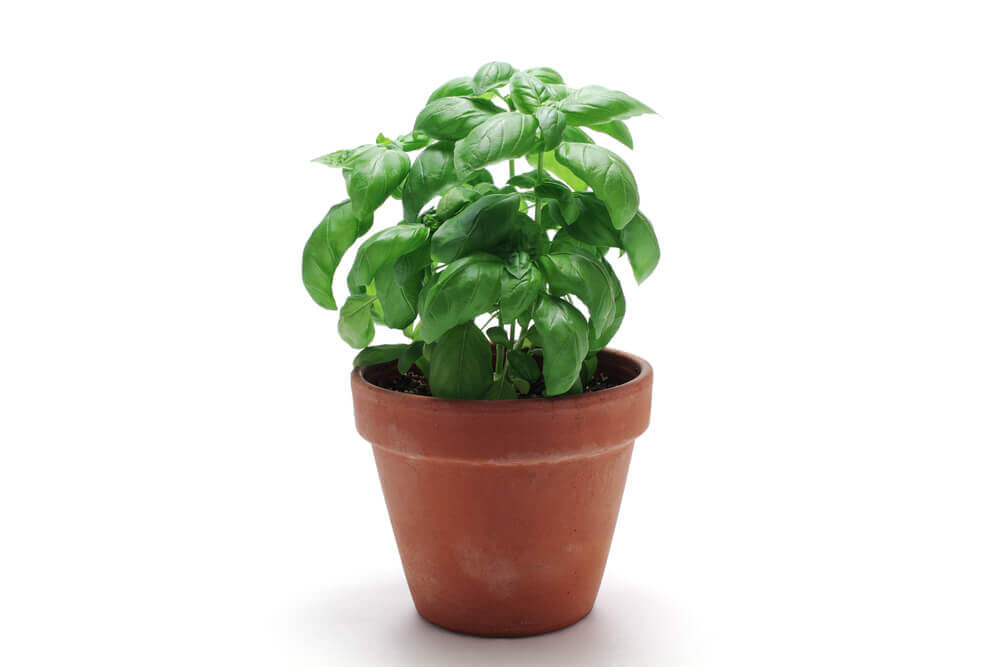basil-plant-growing-in-a-small-pot