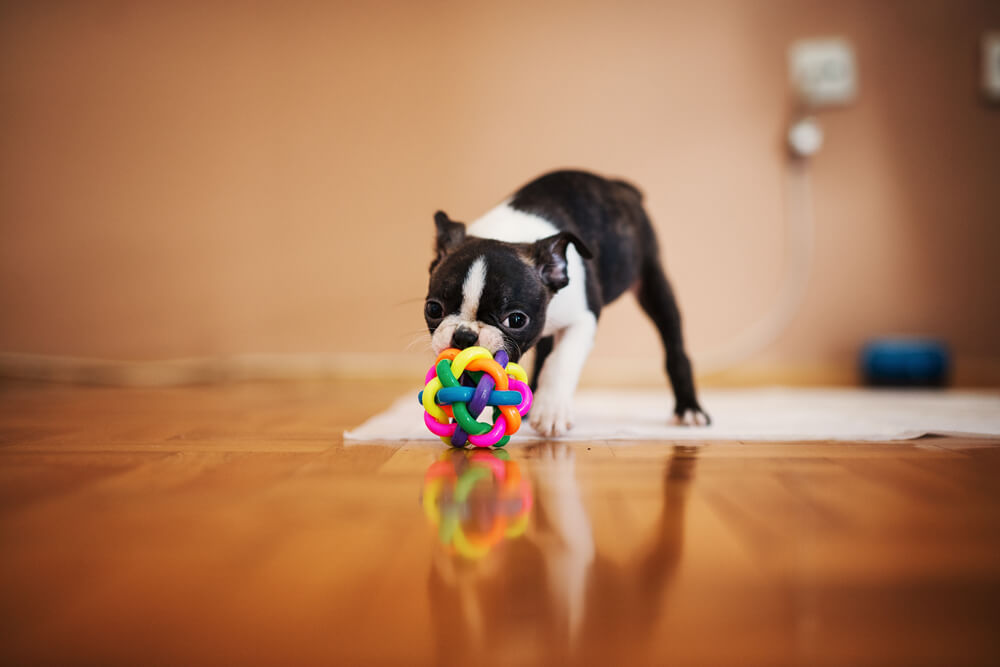 boston-terrier-puppy-playing-with-agility-toy