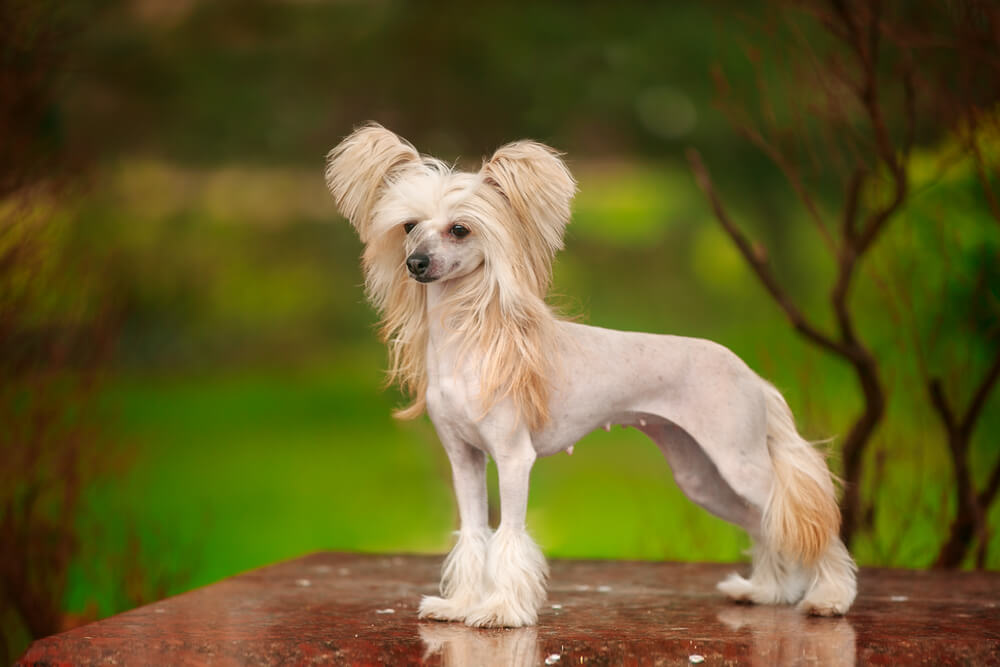 chinese-crested-hypoallergenic-small-dog-2