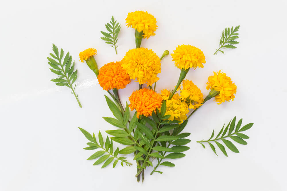 fresh-cut-marigold-flowers