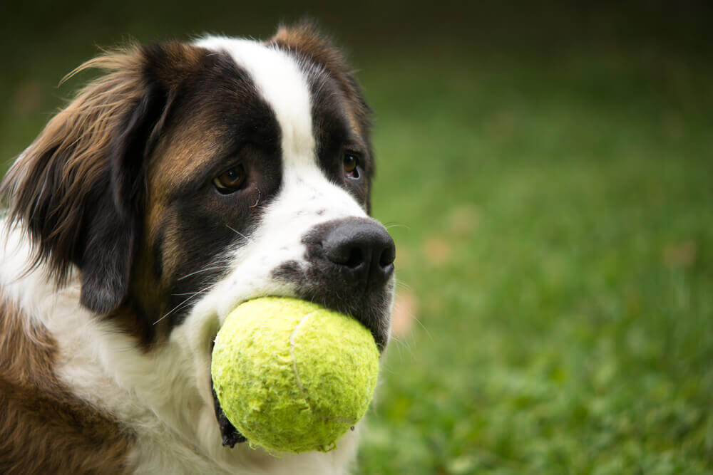 saint-bernard-dog-fetches-tennis-ball--1-