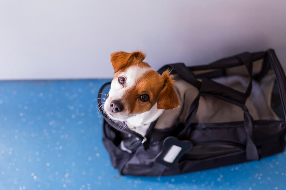 small-dog-in-carrier-waits-to-board-a-plane