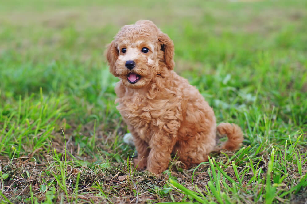 toy-poodle-hypoallergenic-small-dog-1