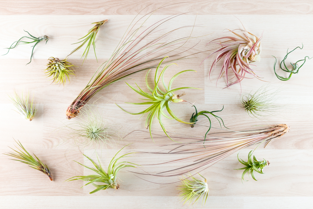 variety-of-air-plants-laid-out-on-wood