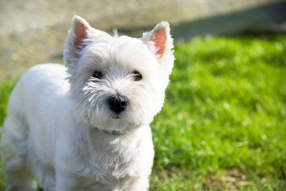 west-highland-white-terrier-hypoallergenic-small-dog-2