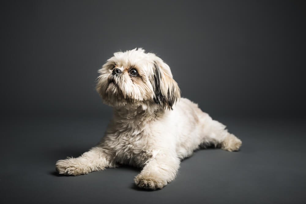 Shih-Tzu-puppy-in-studio-with-grey-background