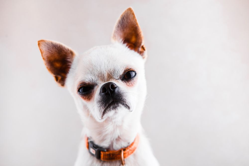 angry-frowing-chihuahua-on-grey-background