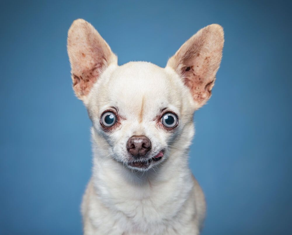 chihuahua-makes-funny-face-on-blue-background