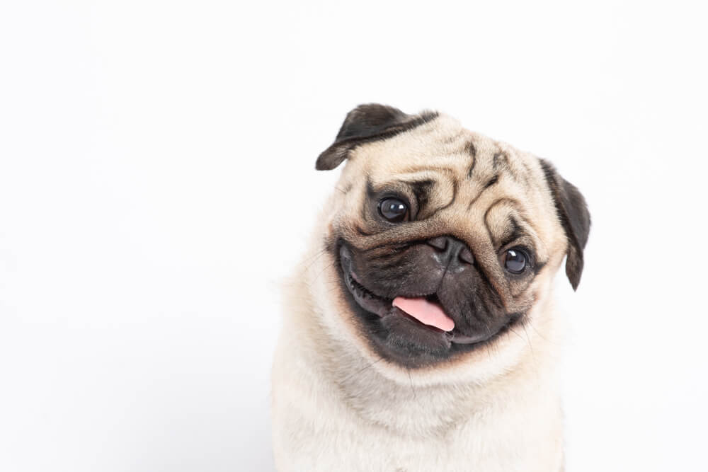 portrait-of-happy-pug-puppy