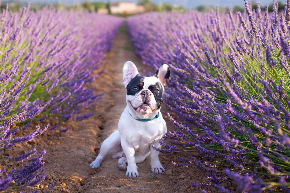 french-bulldog-lavender-is-it-safe