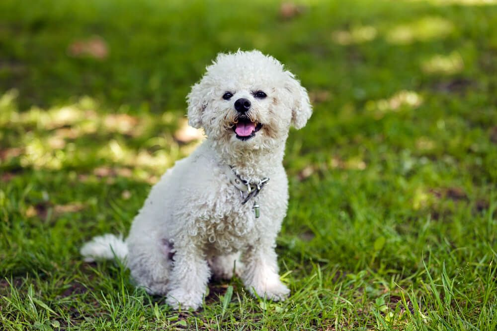 bichon-frise-poses-happily-outdoors