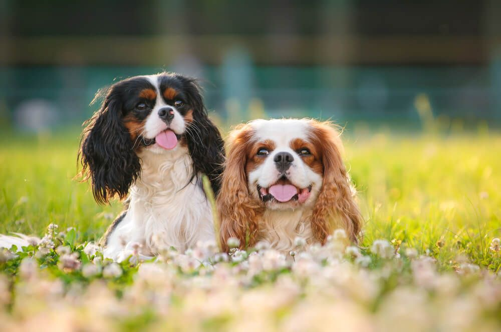 cavalier-king-charles-spaniel-puppies-in-a-field-of-flowers