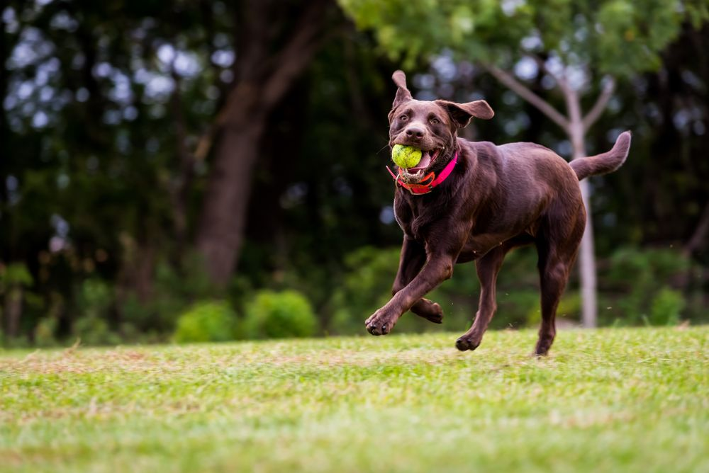chocolate-lab-fetches-tennis-ball-outdoors