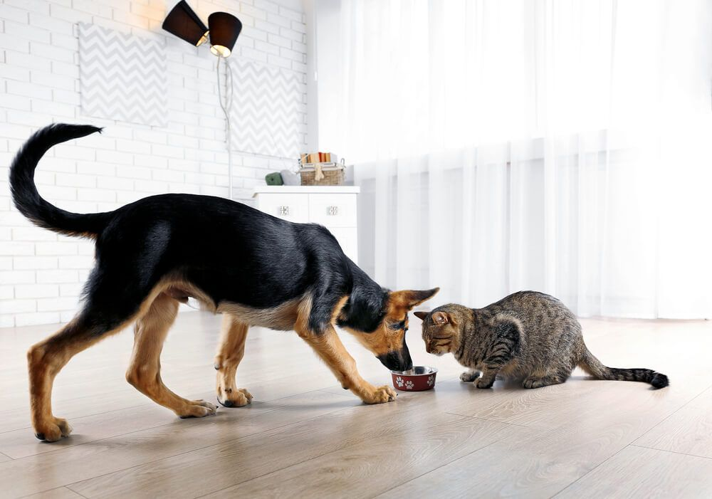 dog-attempts-to-steal-cat-s-food