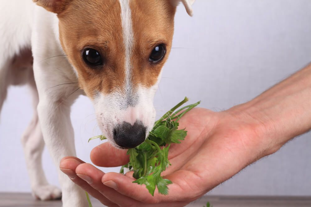 man-giving-his-dog-a-fresh-sprig-of-parsley--1-