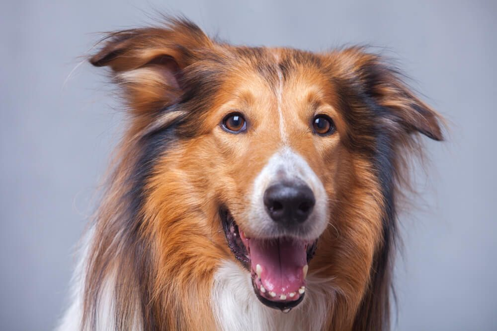 portrait-of-a-collie-smiling-and-drooling