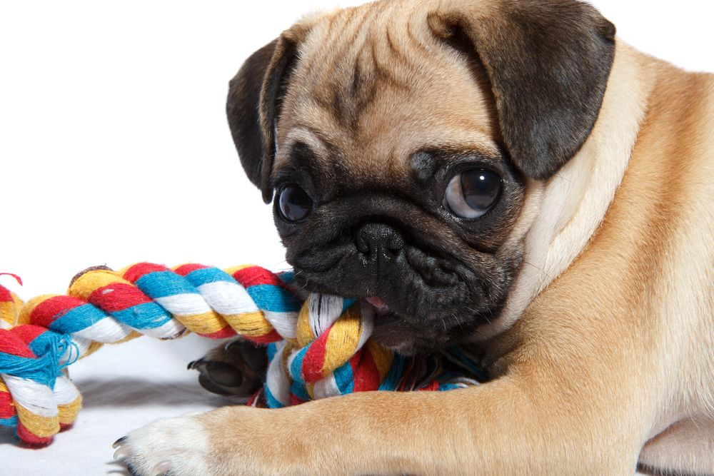 pug-puppy-biting-a-rope-chew-toy