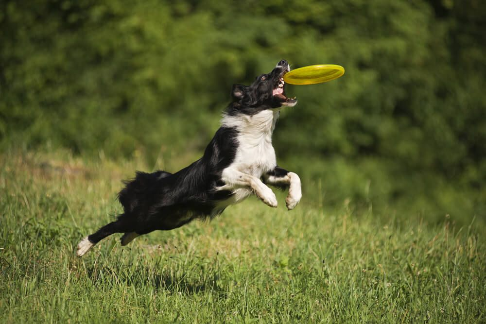 dog-catching-frisbee