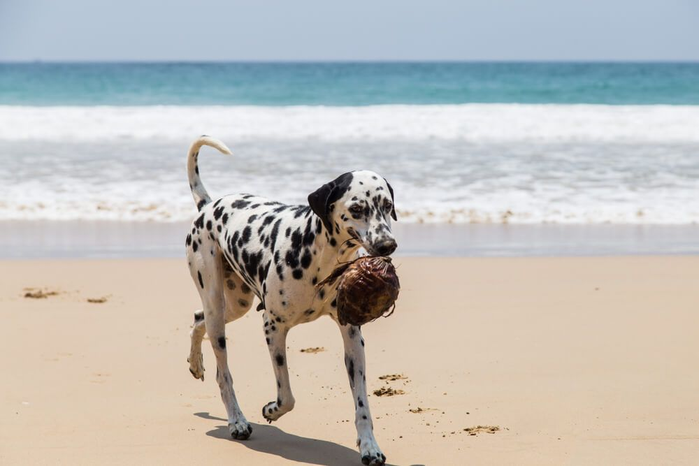dalmation-drinks-coconut-milk-on-beach
