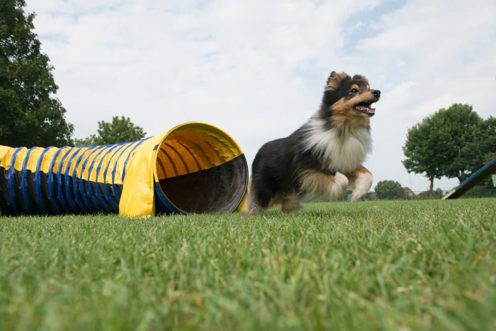dog-completes-an-obstacle-course-in-yard