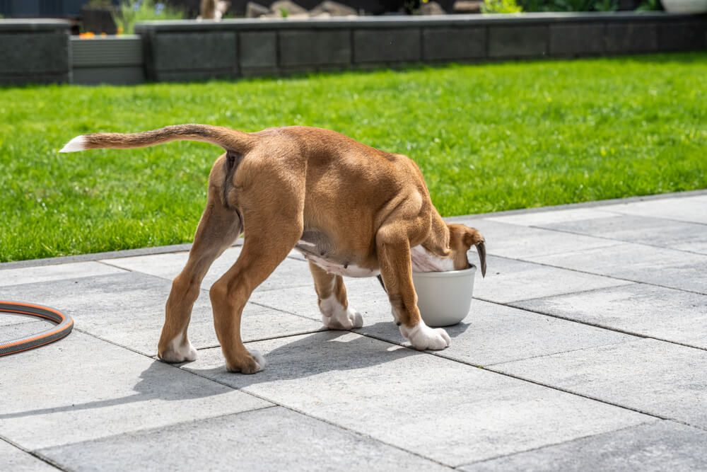 dog-enjoying-her-meal-outdoors