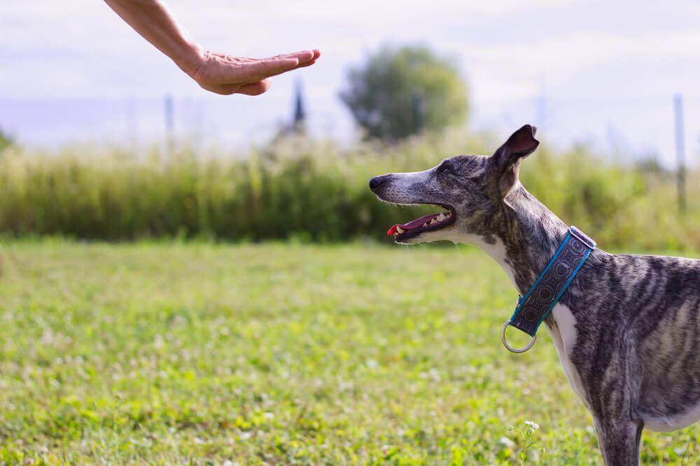 greyhound-learns-to-stay-outdoors