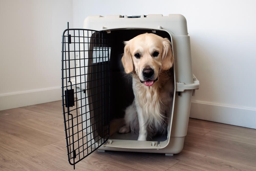 large-golden-retriever-sits-in-his-crate-to-prepare-to-travel