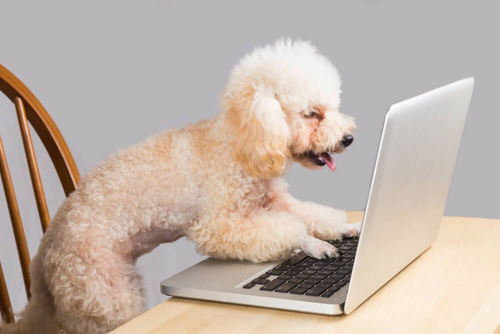 miniature-poodle-puts-paws-on-laptop-keyboard-like-he-is-typing