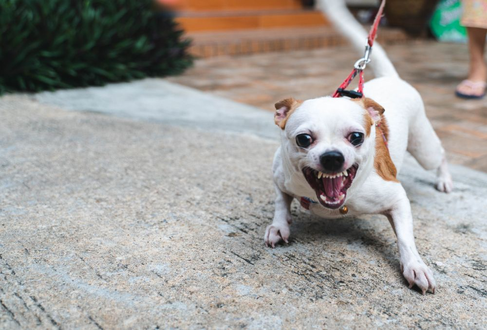 small-dog-bares-his-teeth-at-another-dog-while-on-a-leash