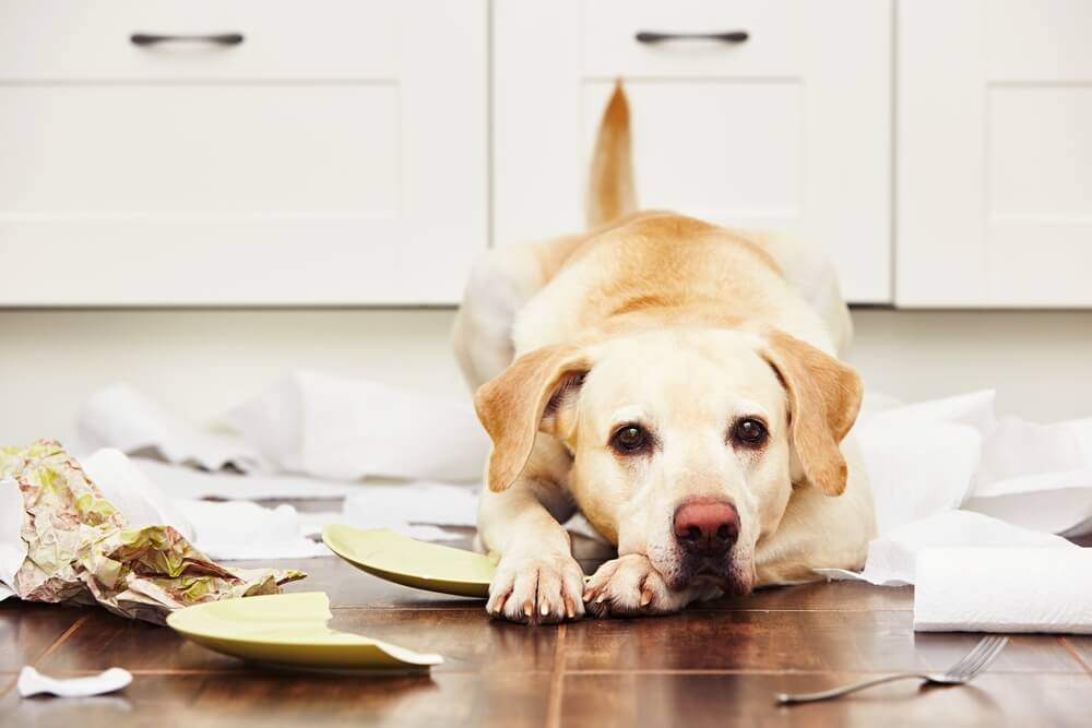 yellow-lab-makes-a-mess-in-family-s-kitchen