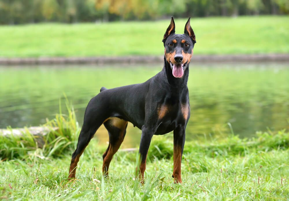 German-Pinscher-stands-by-a-lake-with-her-tongue-out