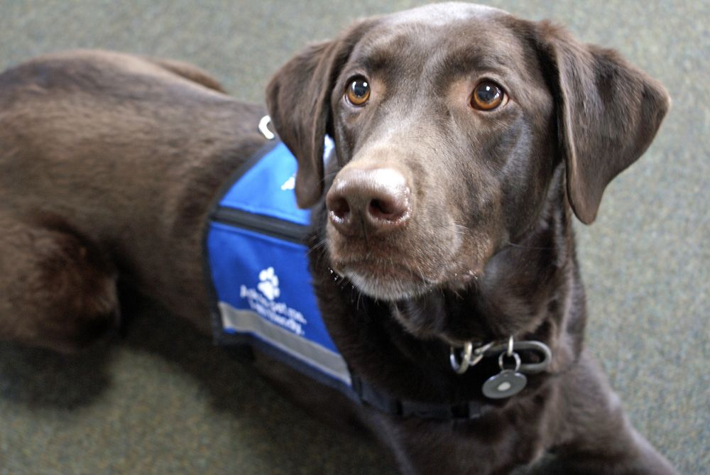 chocolate-lab-therapy-dog-sits-in-his-official-vest