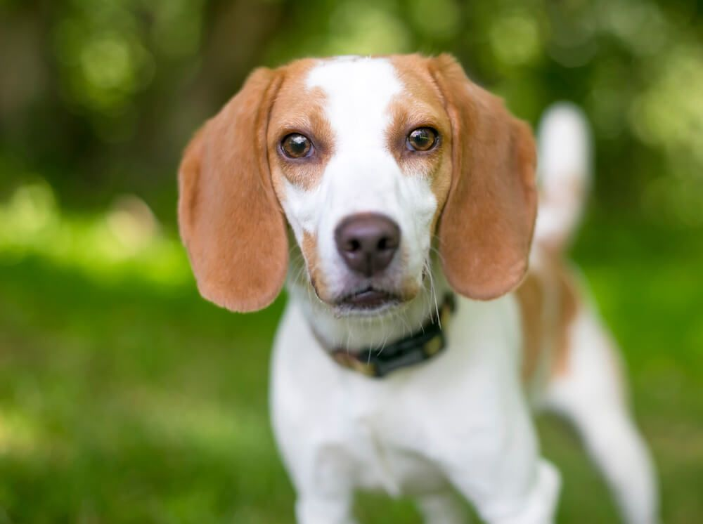 close-up-of-a-healthy-foxhound-puppy