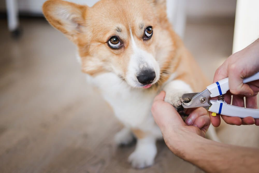 corgi-relunctantly-submits-to-getting-his-nails-trimmed